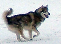 A running dog that resembles a wolf.