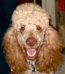 A close-up of an excited golden poodle.